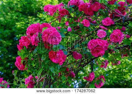 Climbing rose know as a John Cabot rose growing on an arbour.