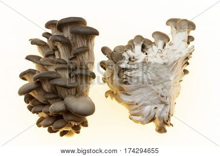 The mycelium is divided into two parts in the section. Oyster mushrooms fresh mushrooms on a white background closeup