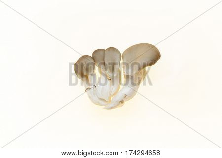 Oyster mushrooms fresh mushrooms on a white background closeup