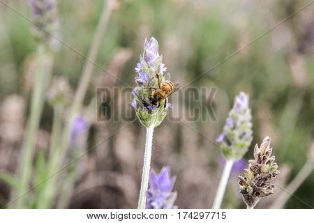 Honey Bee On Lavender Pollinating Flowers