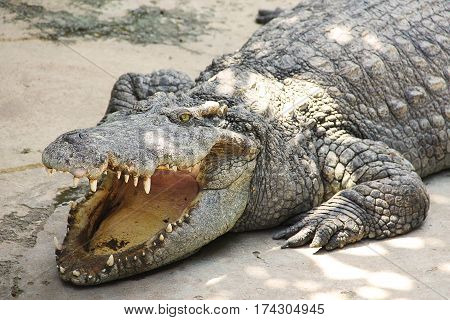 Large crocodile basking in the sun with open mouth close-up.