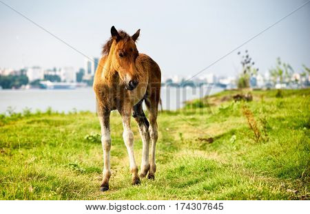 Thoroughbred foal standing alone in pasture in summer