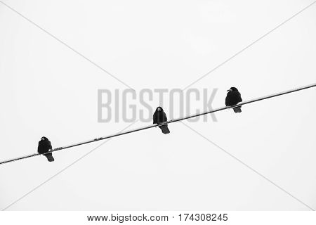 crow on an electric wire black and white