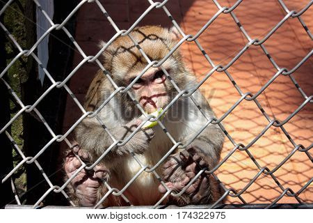 Little Monkey In A Cage, Eating An Apple Behind Bars.