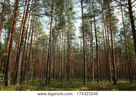 Forest In Summer, Tall Trees Pines And Firs And Moss.