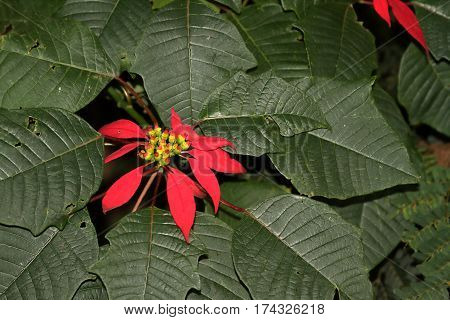 A Christmas star with flowering in red