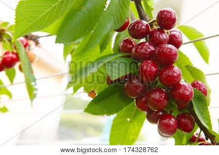 Cherries hanging on a cherry tree branch. Red and sweet cherries isolated on white.