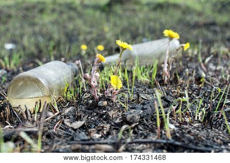 spring meadow. environmental pollution bottles. yellow flowers coltsfoot. Glass bottle