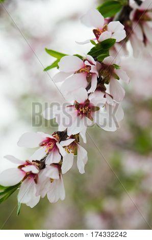 Beautiful blooming flowers almandry purple hue Close-up