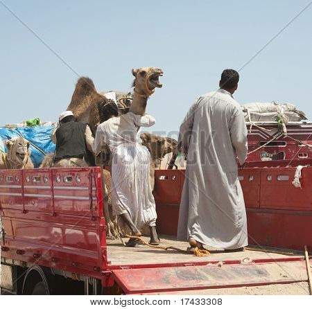 Bedouins Loading Camels On Truck