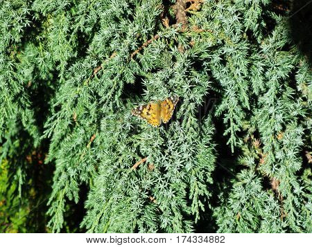 Orange butterfly Aglais Urticae on the cypress tree macro photo