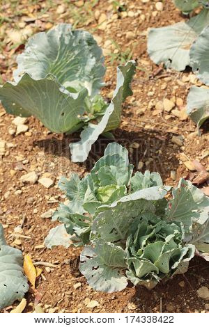 head cabbage in the garden with nature