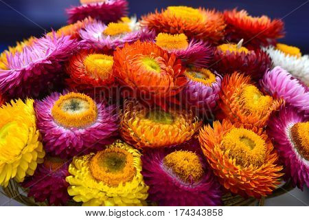 Beautiful of colorful dry everlasting flowers or straw flowers for background