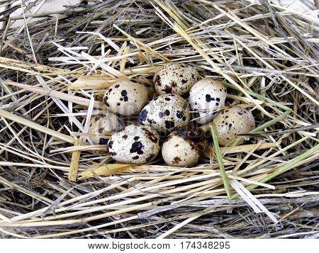 Quail's nest and quail eggs in decorative concept