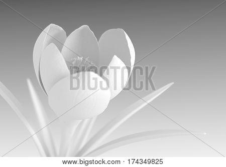 White Crocus Flower Blooming On Gradient Background. 3D Illustration.