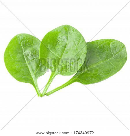 valerian leaves on white background as package design element. Healthy eating. Food photography.