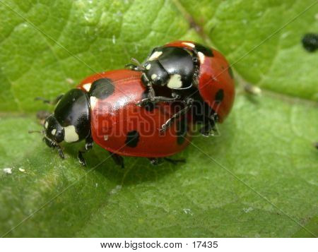 Ladybirds In Cop