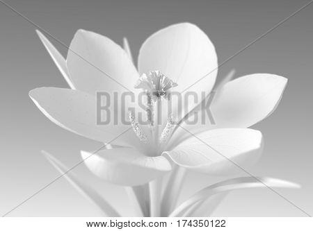 White Crocus Flower On Gradient Background. 3D Illustration.