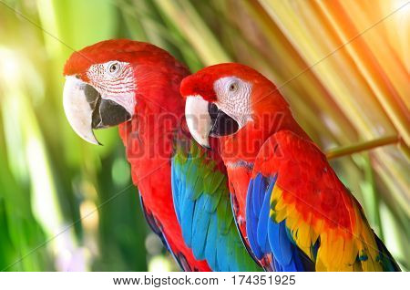 Two parrots red in tropical forest birds.