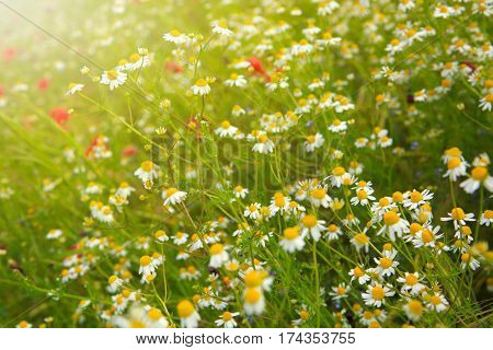 White daisies on green field.Beautiful poppy and daisies field background.