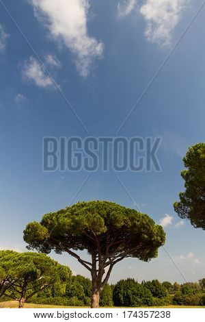 Stone Pine Or Pinus Pinea, Copy Space At Top.
