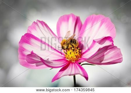 White cosmea flower with a bee on it in summer season .Bee on Bee working on white cosmos flower on gray.