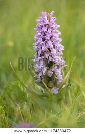Early Marsh Orchid (Dactylorhiza incarnata) flowering in a Dune-Valley