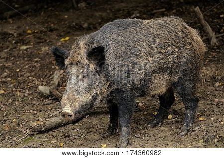 Wild Boar In Wood.