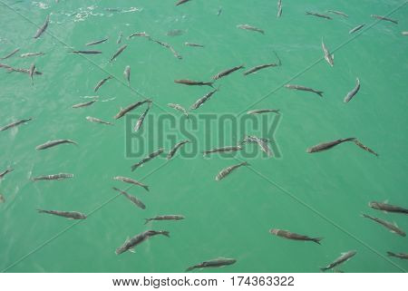 A background with a shoal of fishes in the water of Maditerranean sea at the port of Malaga Andalusia Spain.