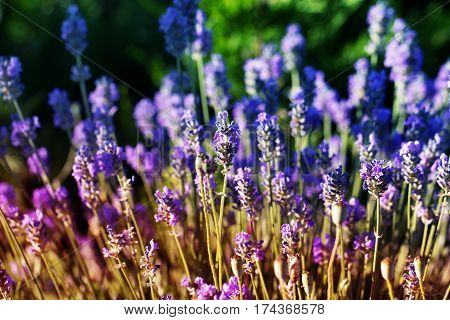 Beautiful Violet Flowers.little summer flower. Flowers In The Garden At Springtime. little purple flower. little summer flower