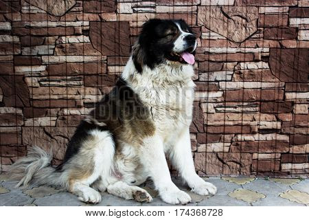 Caucasian Shepherd a large guard dog. Fluffy Caucasian shepherd dog