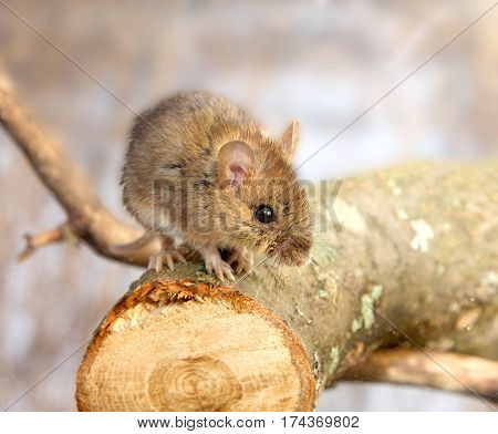 The little mouse sits on the cut tree