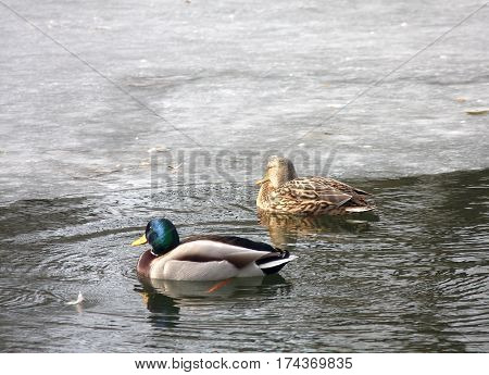 The wild duck and drake swim in an ice-hole