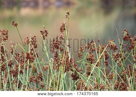 Seeded Grass with soft focus background 1