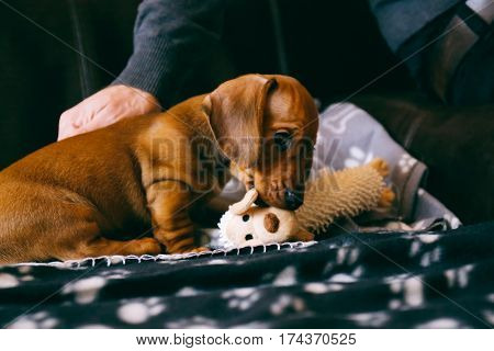 8 weeks old smooth brown dachshund puppy looking cheeky playing with a toy on a black blanket with paws print. His male owner near.