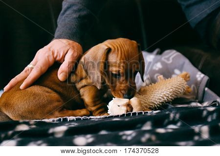 8 weeks old smooth brown dachshund puppy playing with a soft toy on a black blanket with paws print. His male owner petting him.