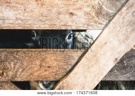 sheep looking into the crack of a wooden fence