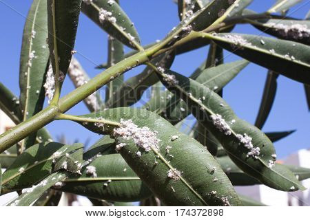 Oleander leaves densely covered with scale insects. Mealy mealybug. Thick infestation, garden