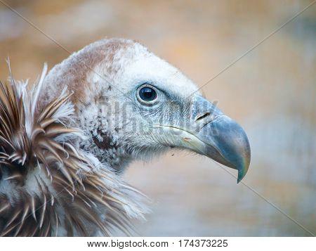 Himalayan griffon vulture, Gyps himalayensis, close-up shot of unique mountain scavenger bird.