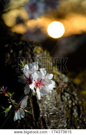 Spring flowering branches, white flowers at sunset, blossoms Almond close up. Los Velez, Almeria, Spain