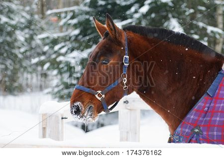 Portrait of thoroughbred sorrel horse in bridle and a blanket in the snow. Walking race horses during the cold season. Trotter brown color is winter in the outer paddock.