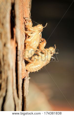 Shells of two dead cicadas, nature, southern Europe