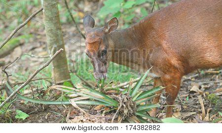 White-tailed deer eating a bromeliad in the jungle. Common names: Venado cola blanca. Scientific name: Odocoileus peruvianus