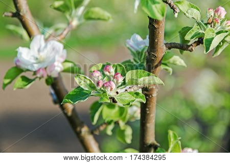 Pink buds and flowers apple-tree in mid-spring on a sunny day