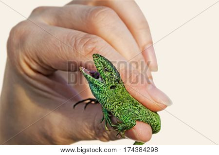 Green lizard in the hands of wide-open jaws close-up on a white background
