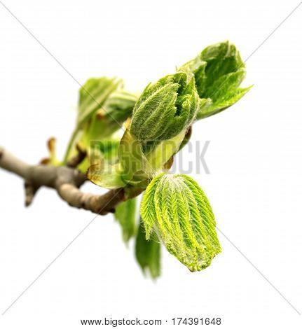 Spring Twig Of Horse Chestnut Tree