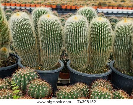 Closeup beautiful cactus thorn and cactus blooming flowers in nature cactus garden.selective focus