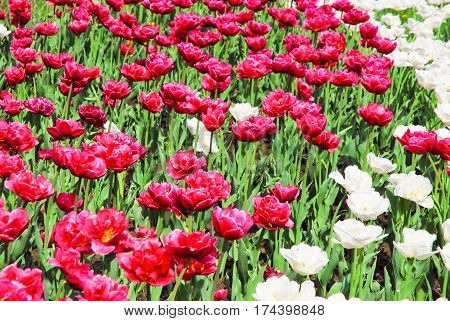 Background of crimson and white Terry Tulip