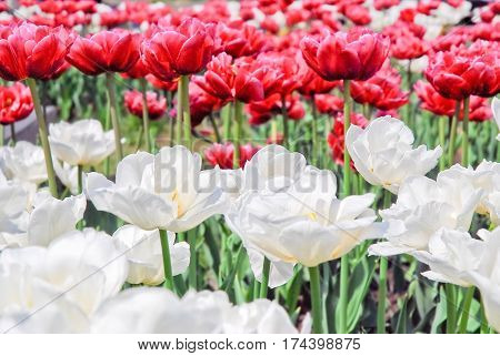 Terry white and crimson double tulips. Background