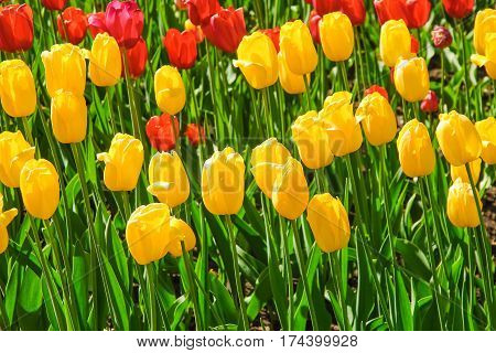 Beautiful yellow and red tulips (Tulipa) on the flowerbed